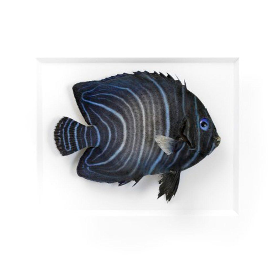 11 x 14 Emperor Angelfish