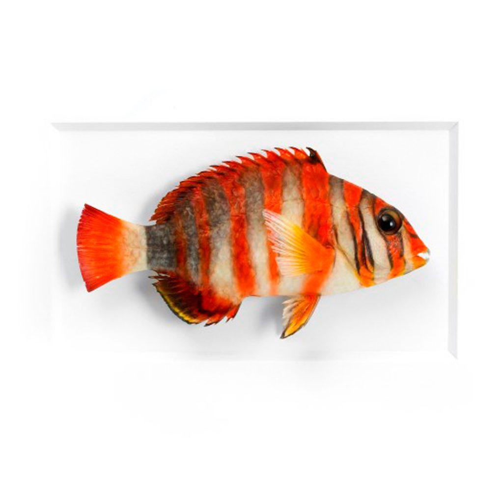 11 x 14 Tuskfish