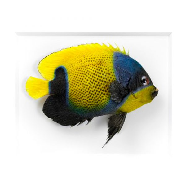 11 x 14 Blue Girdled Angelfish