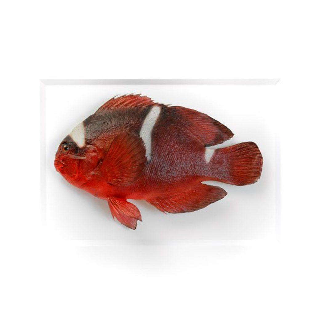 11 x 14 Maroon Clownfish