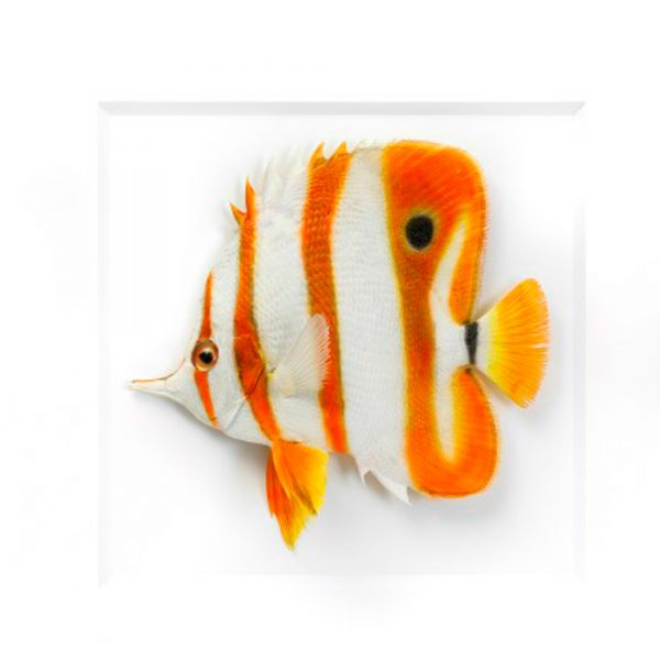 11 x 14 Copperband Butterfly Fish